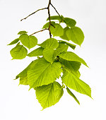 isolated linden-tree leaves