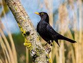 Single isolated male blackbird