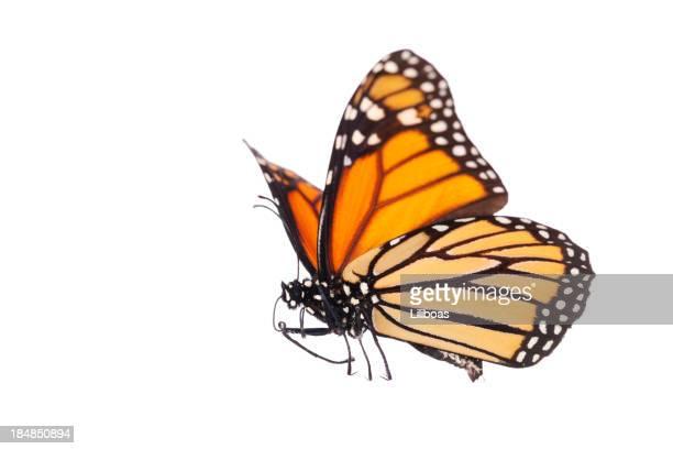 Papillon monarque isolé