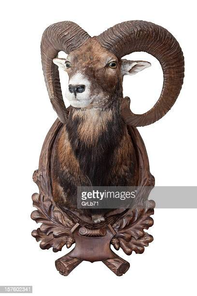 Isolated mouflon (bighorn sheep) as decoration
