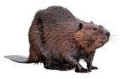 North American Beaver (Castor canadensis) isolated on white background