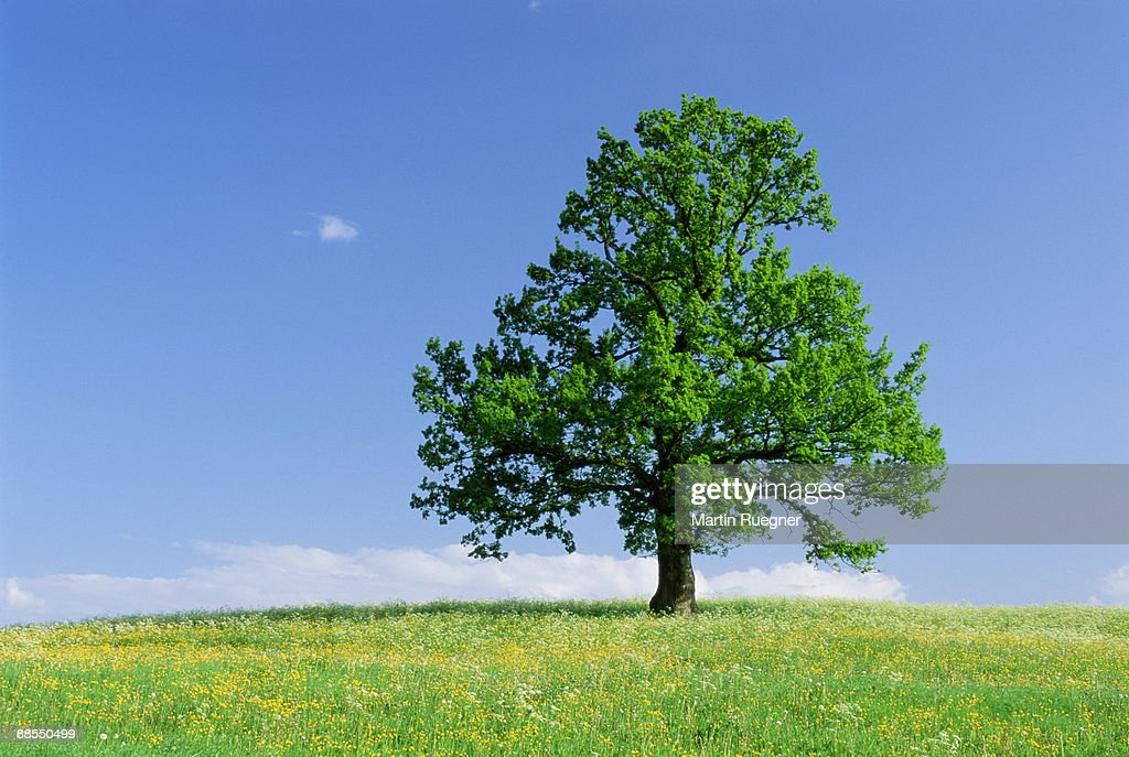Isolated oak tree in field : Stock Photo