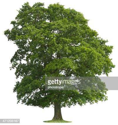 Isolated Oak Tree