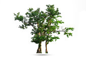 Isolated of Green tree on white background with clipping path.