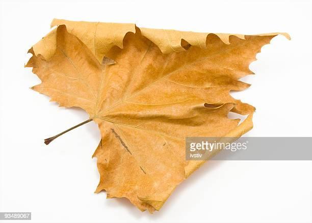Isolated orange Autumn leaf against white background