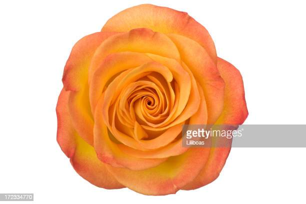 Isolierte Orange Rose (XL