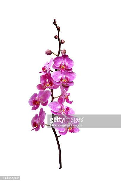 Isolated pink orchids