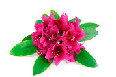 isolated pink purple Rhododendron on white background
