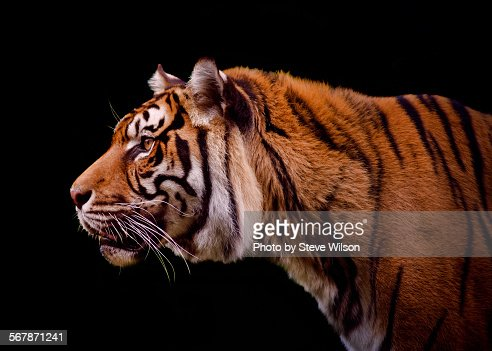 Isolated Profile of a Tiger