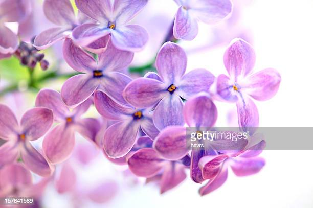 Isolated Purple Lilac on what background