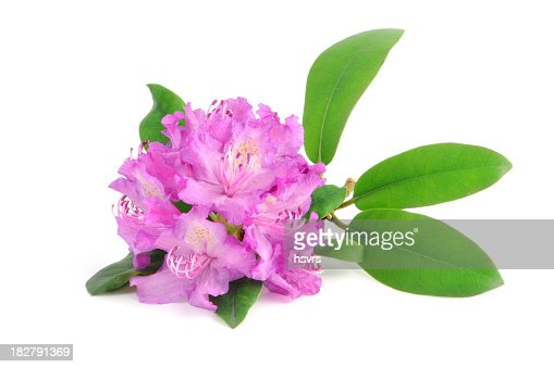 isolated purple Rhododendron