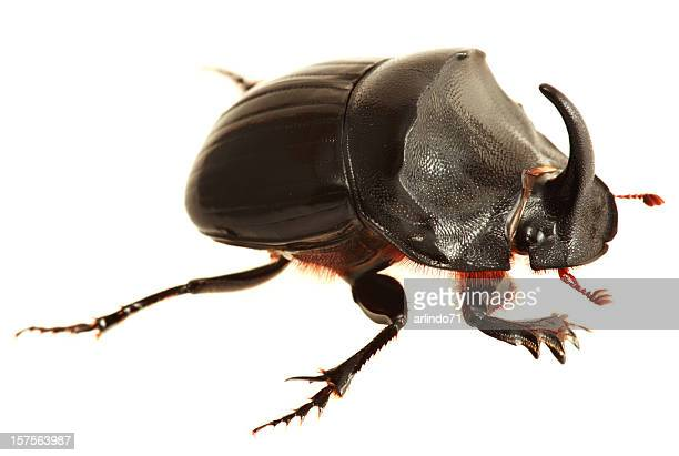 Isolated Rhinoceros Beetle  (XXXL)