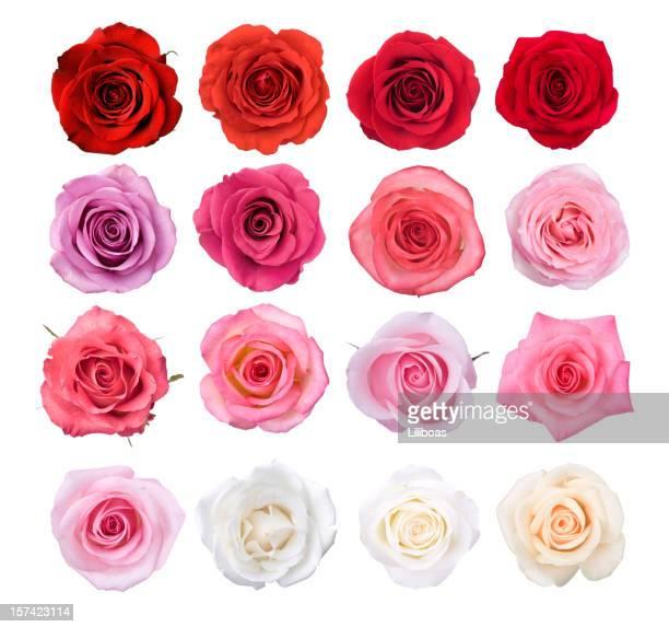 Fiori di rosa isolati