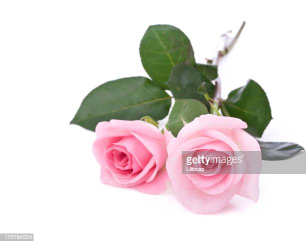 Isolated Roses (XL)