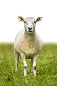 Sheep Or Lamb Standing In Grass With Isolated Background For Text