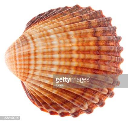 Isolated shell on white background