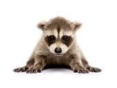 baby raccoon (6 weeks) - Procyon lotor  in front of a white background.