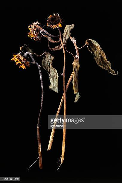 Isolated shot of dead sunflower on black background