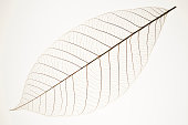 Beautiful perfect leaf veins against white background.Studio shot.