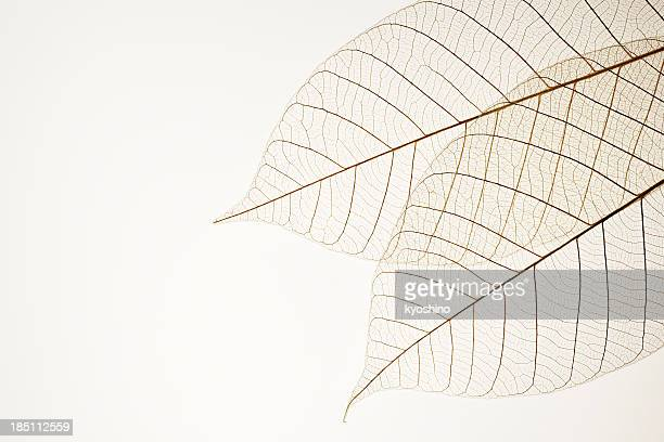 Isolated shot of two leaf veins on white background