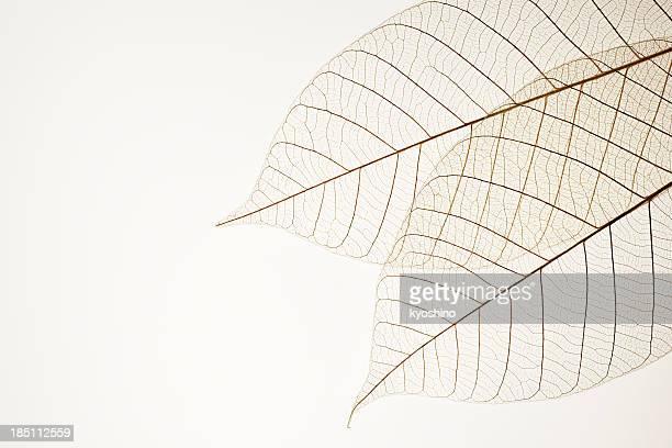 Isolierte Schuss von zwei Blätter Adern auf weißem Hintergrund