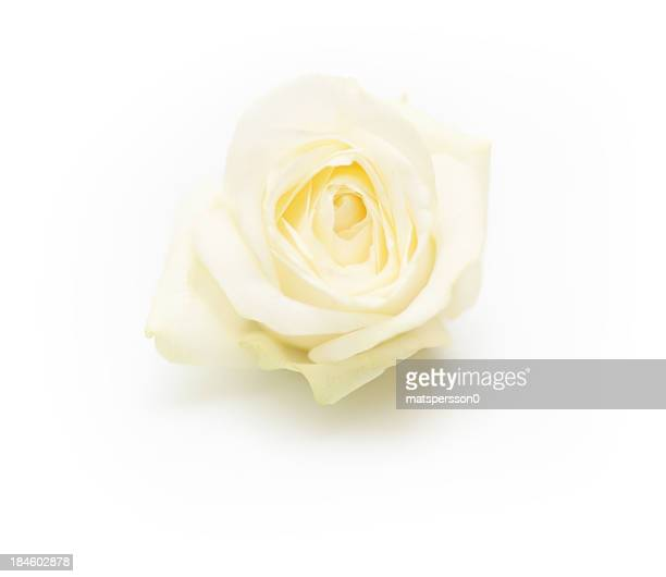 Isolated single white rose