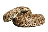 isolated snake ready to strike, meadow viper ( Vipera ursinii rakosiensis )