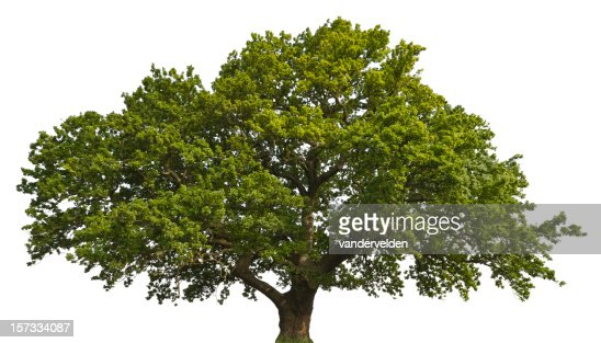 Isolated Summer Oak