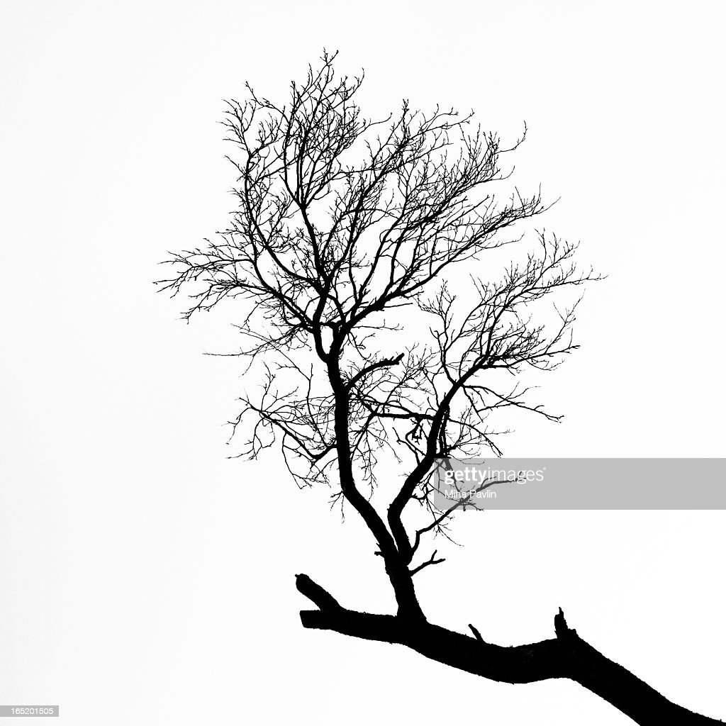 Isolated tree branch silhouette