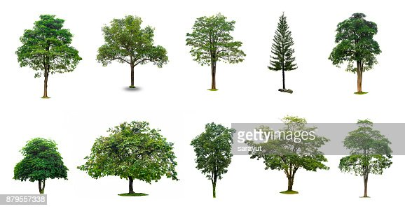 Isolated  trees on white background Collection of Isolated Trees on white background Suitable for use in architectural design , Decoration work : Stock Photo