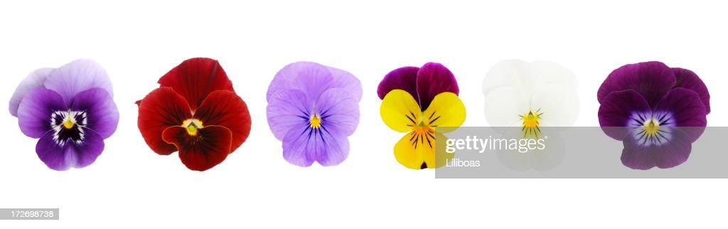 Isolated Viola/Pansies (XL)