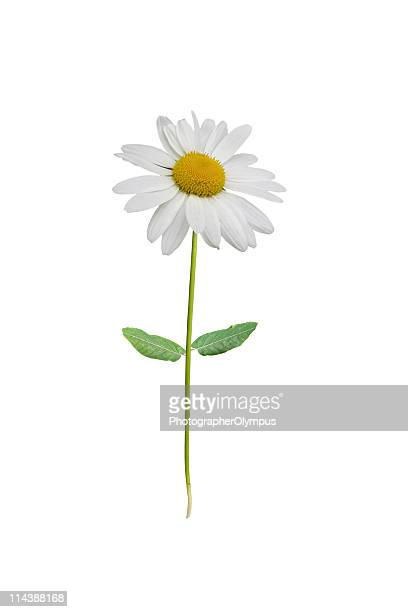 Isolated white daisy