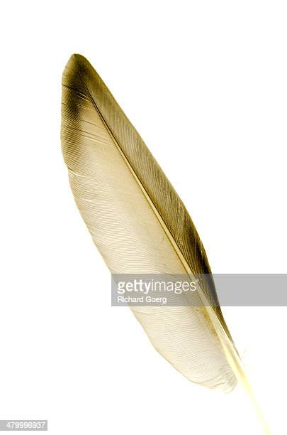 Isolated wing feather