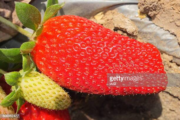 Israeli agriculture, strawberries