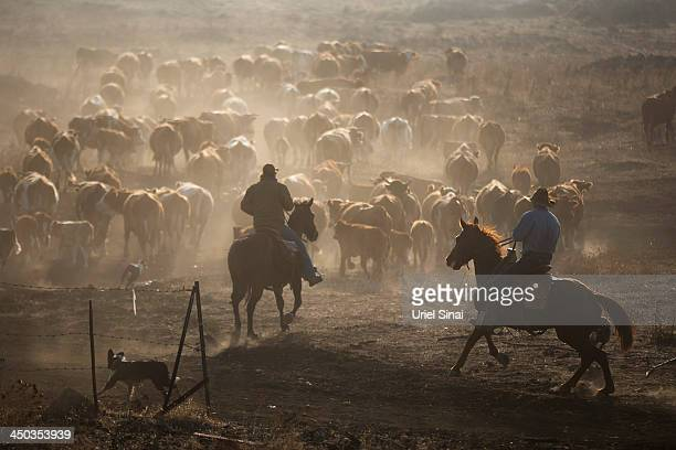 Israeli cowboys shay zerbib and Wafik Ajamy ride their horses as they herd their cattle back to the Merom Golan ranch on November 14 2013 in the...