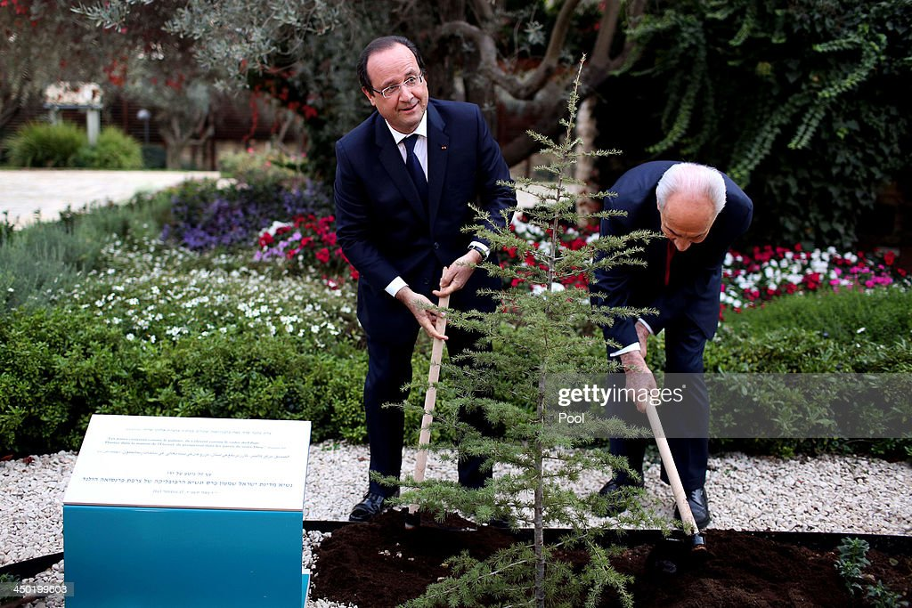 Israeli President <a gi-track='captionPersonalityLinkClicked' href=/galleries/search?phrase=Shimon+Peres&family=editorial&specificpeople=201775 ng-click='$event.stopPropagation()'>Shimon Peres</a> (R) and French president Francois Hollande (L) plant a Cedar tree during a welcome ceremony for the French president at the Israeli president's residence on November 17, 2013 in Tel Aviv, Israel. Hollande landed at Israel's Ben Gurion airport for a three-day visit in Israel and the West Bank.