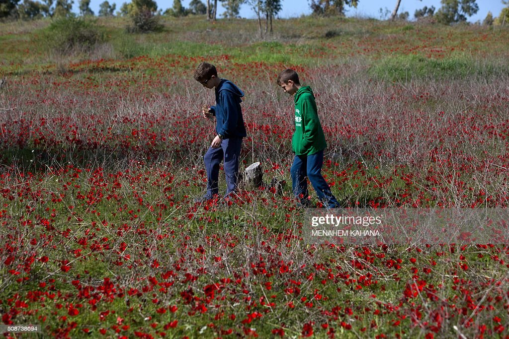 Israelis walk in a field full of Anemone blossom close to Kibbutz Beeri, near the southern Israeli border with the Gaza Strip, on February 6, 2016. / AFP / MENAHEM KAHANA