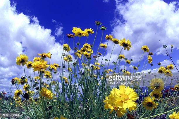 It was a picture post card day in the Valley as light rain over night left puffy clouds and bright blue sky's as wild flowers grow along the...
