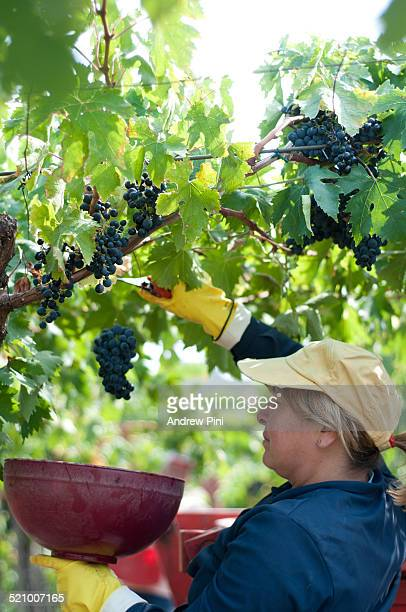 Italian farm worker picks grapes in Abruzzo Italy destined to be made into Montepulciano D'Abruzzo wine