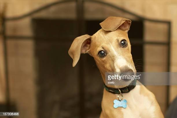 Italian greyhound (Milo)
