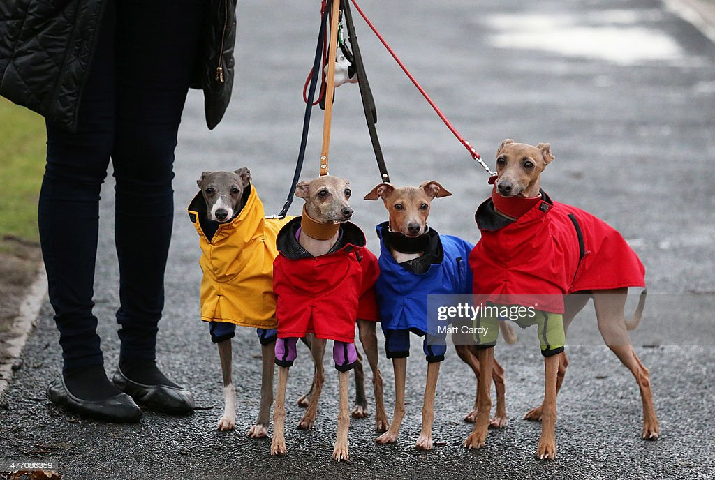 Italian Greyhounds and their owners arrive to attend the second day of the Crufts dog show at the NEC on March 7, 2014 in Birmingham, England. Said to be the largest show of its kind in the world, the annual four-day event, features thousands of dogs, with competitors travelling from countries across the globe to take part. Crufts, which was first held in 1891 and sees thousands of dogs vie for the coveted title of 'Best in Show'.