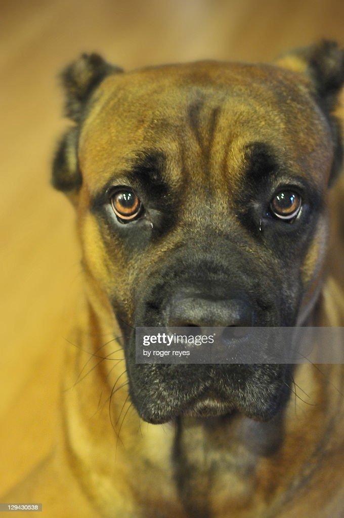 Italian mastiff : Stock Photo