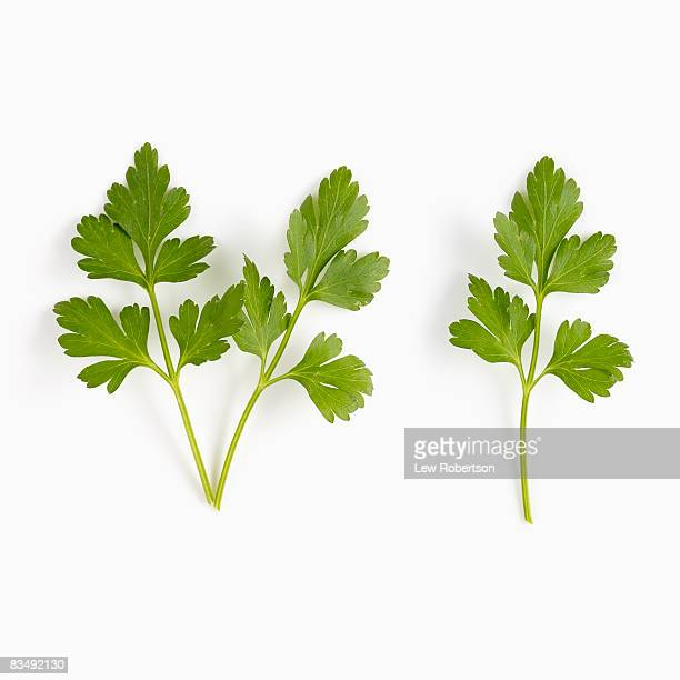 Italian Parsley on white