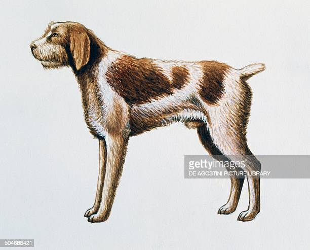 Italian Spinone Canidae drawing