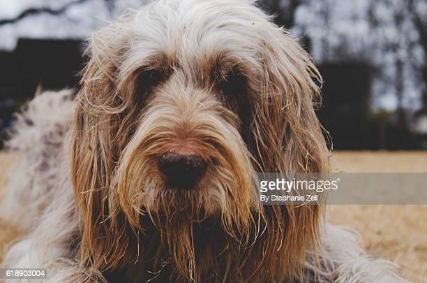 Italian Spinone, curly haired pup