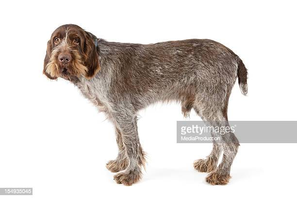 Italian Spinone pure bred dog