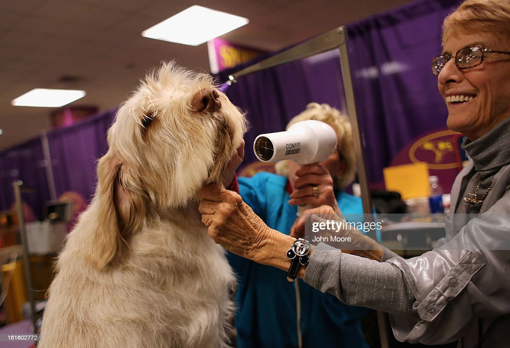 Italian Spinoni, Diogi, is blown dry at the 137th Westminster Kennel Club Dog Show on February 12, 2013 in New York City. Best of breed dogs were to compete for Best in Show at Madison Square Garden Tuesday night. A total of 2,721 dogs from 187 breeds and varieties competed in the event, hailed by organizers as the second oldest sporting competition in America, after the Kentucky Derby.