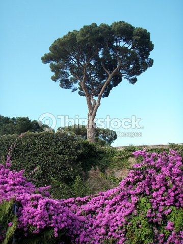 Italian stone pine and pink rambling flowers against blue sky stock italian stone pine and pink rambling flowers against blue sky stock photo mightylinksfo