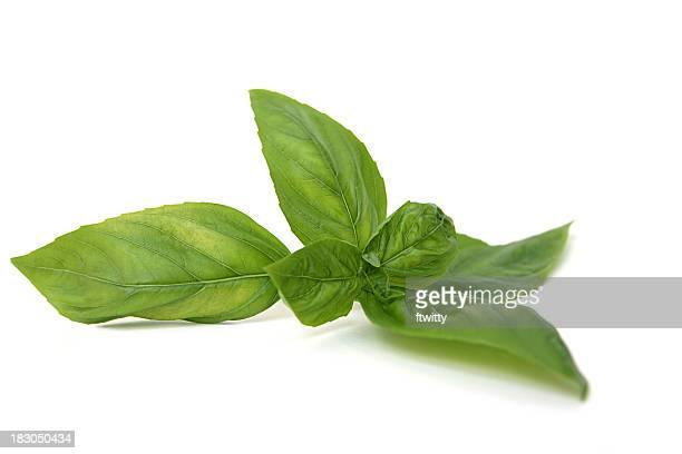 Italian Sweet Basil Isolated on White