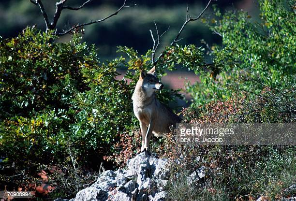 Italian Wolf Abruzzo Lazio and Molise National Park Abruzzo Italy
